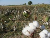 cotton close-up